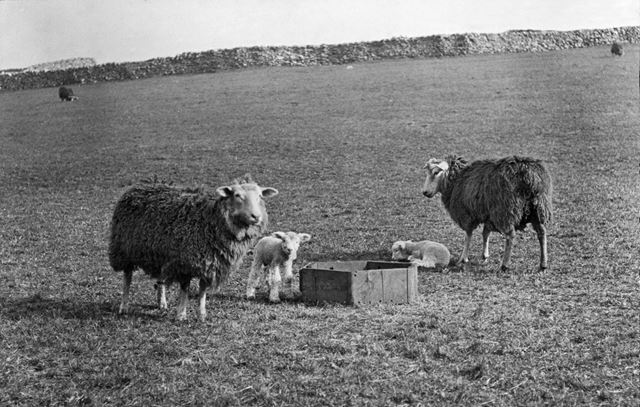 Sheep and lambs, unknown location, 1906
