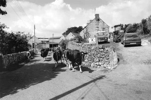 Cows being driven, Home Farm, Ible