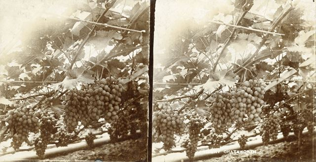 Grapes in the Vinery, Chatsworth House, Derbyshire, c 1900