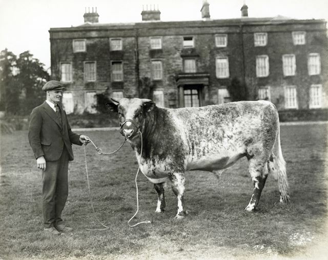 Man with a bull, The Oaks, Norton, South Yorkshire, c 1930s ?