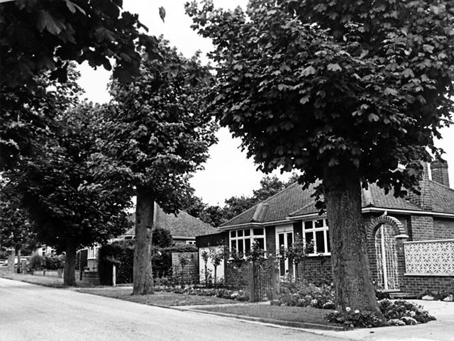 Sycamore trees on South Avenue
